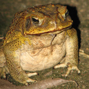 Kiss and sell: Will Chinese demand transform Australia's cane toad problem into a princely export?
