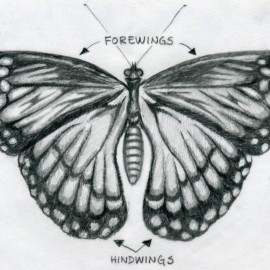 butterfly-drawings10