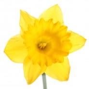 bigstock-A-yellow-daffodil-isolated-on--29990255