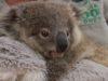 Koala Joey Luna_Taronga Zoo Sydney